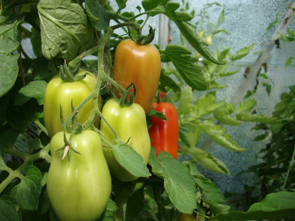San Marzano tomaten in tuinkas